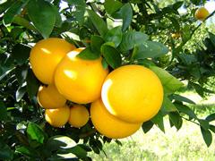アロマオイル グレープフルーツ